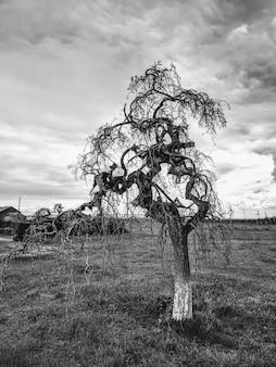 曇りの日に桑の木