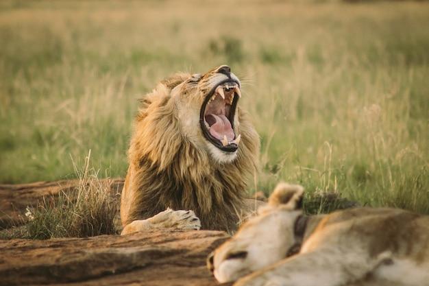 Большой лев лежит на земле и зевая