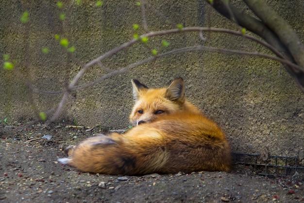 Дикая милая красивая лиса лежит на земле возле стены в зоопарке