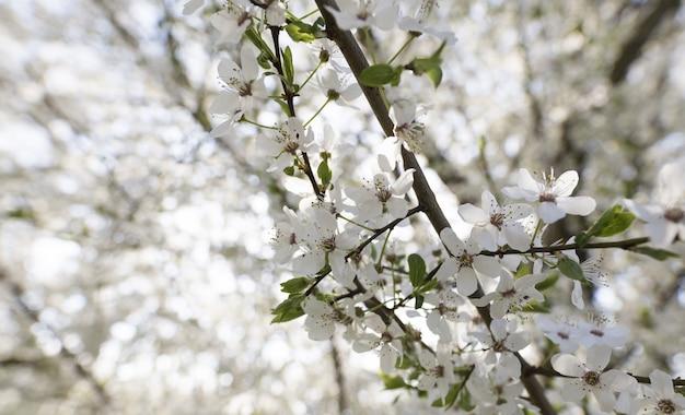 自然でぼやけている白い花の木のクローズアップ
