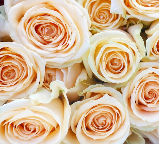 光のピンクのバラのクローズアップ