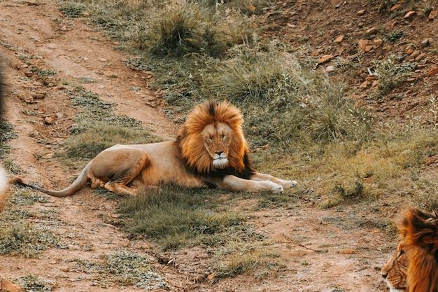 大きなライオンが地面に敷設