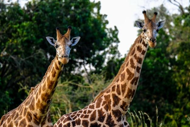 Крупным планом два жирафа рядом друг с другом