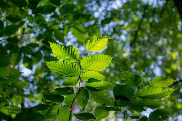 緑豊かなぼやけた緑の葉のブナ型のクローズアップ