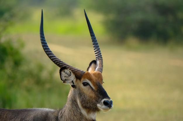 ぼやけた自然とスプリングボック鹿のクローズアップ