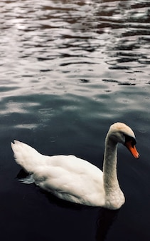 Вертикальная съемка красивого взрослого лебедя плавая в озере