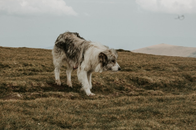 山のある緑の丘の上のミディアムショートコートのグレーと白の犬