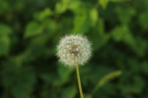 Макрофотография выстрел из семян одуванчика