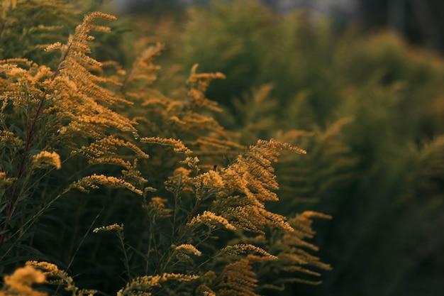 フィールドの黄色の植物の広い選択的なクローズアップショット