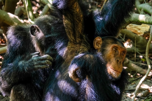 Закрыть выстрел из двух шимпанзе рядом друг с другом с размытым естественным фоном