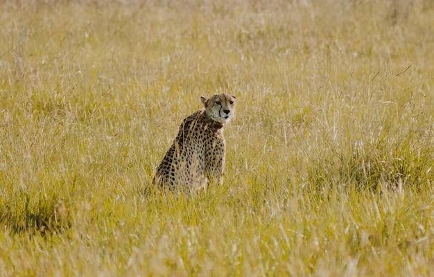 Гепард сидит в кустах, оглядываясь назад