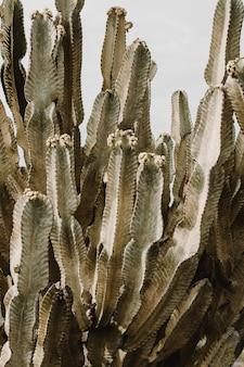 Красивое большое кактусовое дерево с длинными колючими ветвями и цветущими на них фруктами