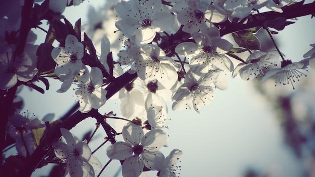 Красивая съемка крупного плана белых цветков яблони
