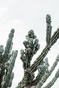 Макрофотография выстрел из красивых больших кактусов с длинными колючими ветвями и цветущих фруктов на них
