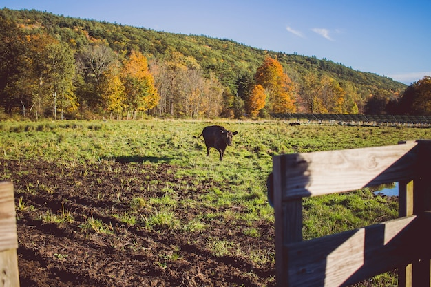 山と晴れた日に芝生のフィールドを歩く牛