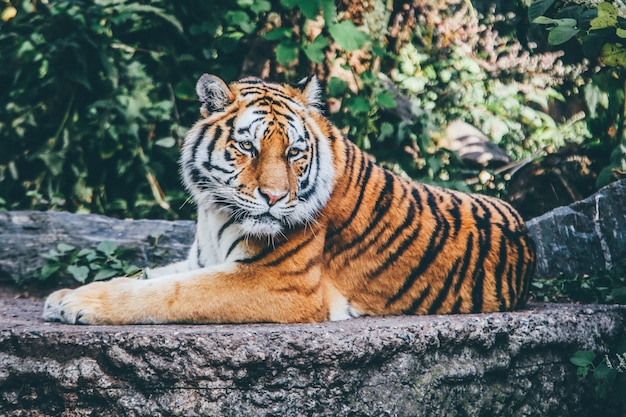岩の多い表面にオレンジ色の虎の広い選択的なフォーカスショット