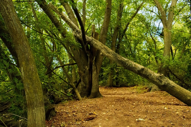 緑の木々と森で倒れた木のワイドショット