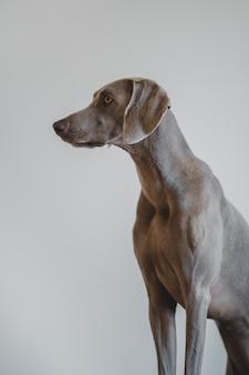 青いワイマラナー犬の肖像画