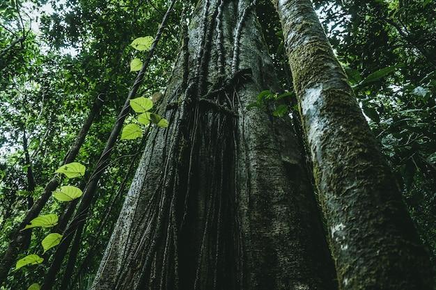 Низкий угол выстрел из длиннолистных сосен, растущих в зеленом лесу