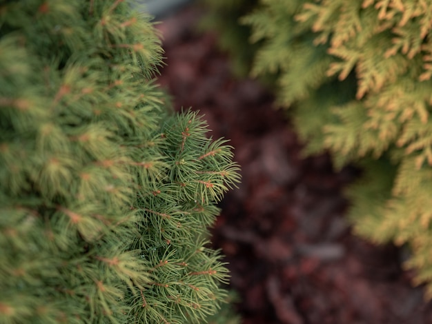 緑の松の木の枝のセレクティブフォーカスクローズアップショット