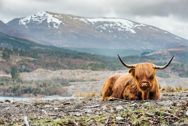長い角を持つフワフワのハイランド牛の浅いフォーカスショット、背景のぼやけた山