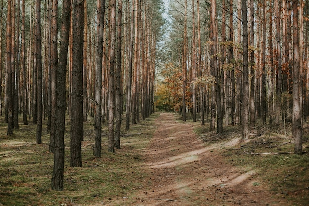 Красивая съемка необитаемого пути посреди елово-елового леса осенью