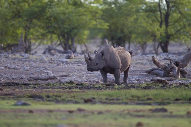 Красивые носороги одиноко стоят посреди джунглей