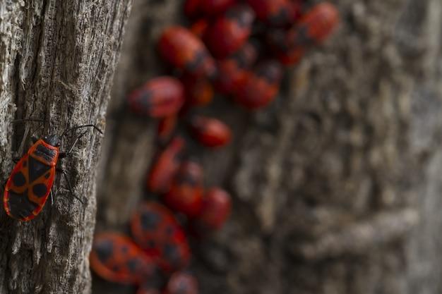 Красные жуки ходят по дереву