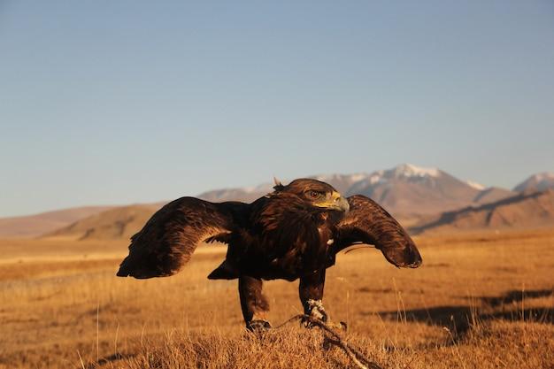 イヌワシがぼやけて背景に山と人けのないエリアを飛ぶ準備ができて