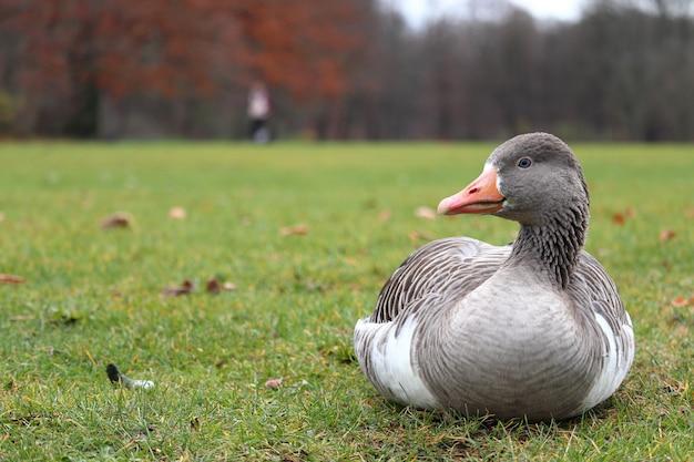背景をぼかした写真を持つ草の上に座っている灰色のアヒル