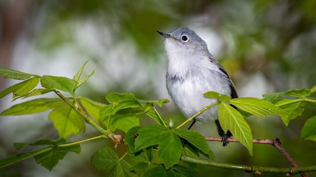 Серо-голубой мухоловка