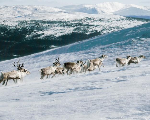 雪で覆われた山に登るヘラジカのグループ