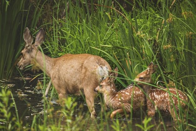 日光の下で緑に囲まれた湖で赤ちゃんと母鹿