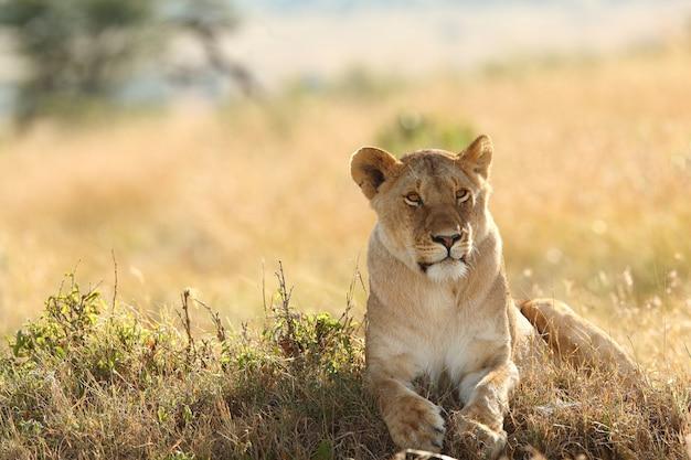 芝生で覆われたフィールドで誇らしげに休んでいる雌ライオン