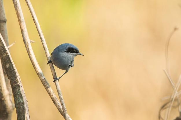 背景をぼかした写真の枝に腰掛け青灰色のブヨキャッチャー鳥