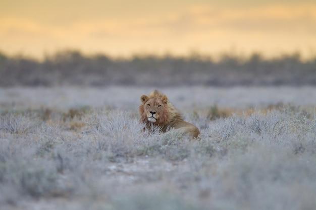 野原の真ん中の草に囲まれて誇らしげに休む雄大なライオン