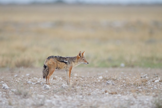 砂漠の真ん中に砂狐の美しい景色
