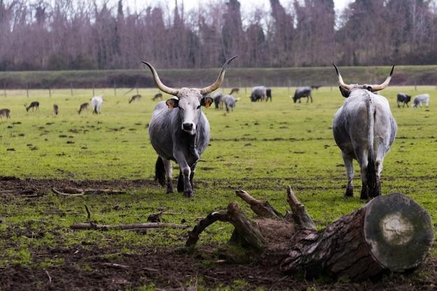 牧草地で雄牛のグループと緑の芝生のフィールド
