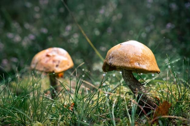 森の真ん中で雨の後に育ったキノコ