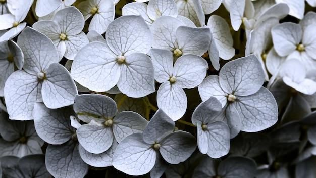美しい白い花びらのビオラの花がたくさん