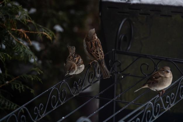 雪に覆われた木の中で金属の手すりの上に座って美しいスズメ