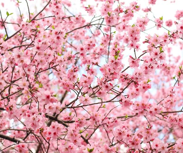 Красивый вишневый цвет