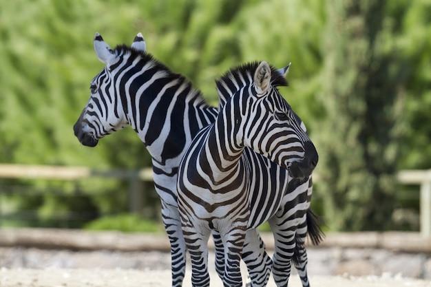 Крупным планом двух зебр, стоящих рядом друг с другом