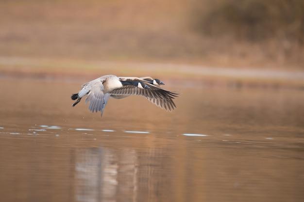 湖の水の表面の上を飛んでいる美しい海鳥