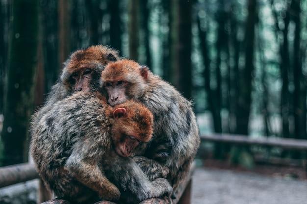 背景をぼかした写真のジャングルでお互いをハグするサルのグループ