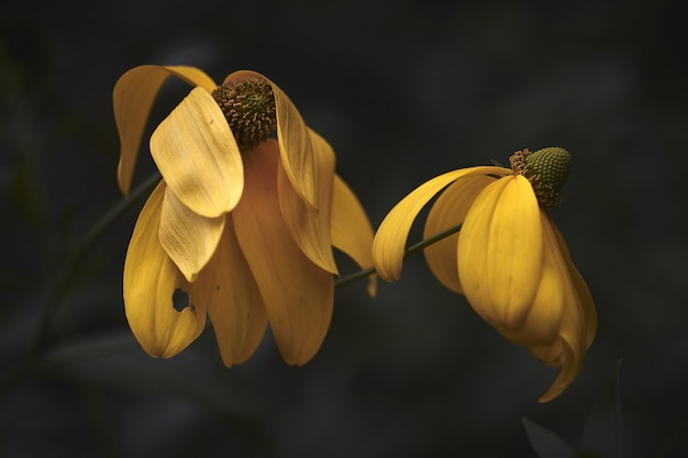 Макрофотография выстрел из двух красивых желтых цветов с размытым фоном