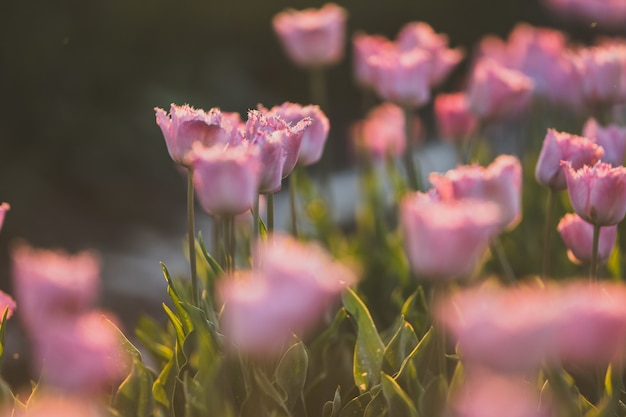 ピンクのチューリップ畑の美しいショット-自然な壁紙や壁に最適