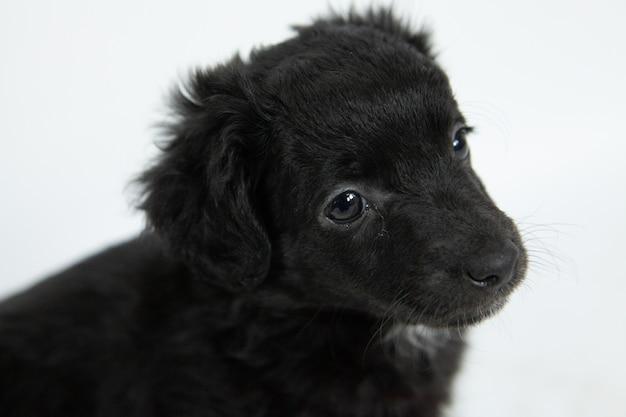 控えめな表情のかわいい黒のフラットコートレトリーバー犬のクローズアップショット