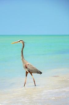 Красивая большая голубая цапля стоит на пляже, наслаждаясь теплой погодой