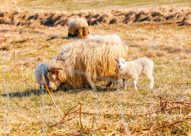 フィールドで草を食べる羊の群れ